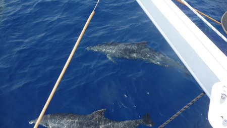 Delphine bei Antiparos