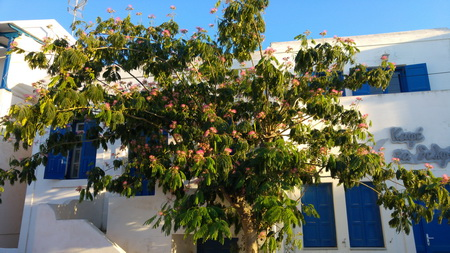 Mimosenbaum auf Schinousa