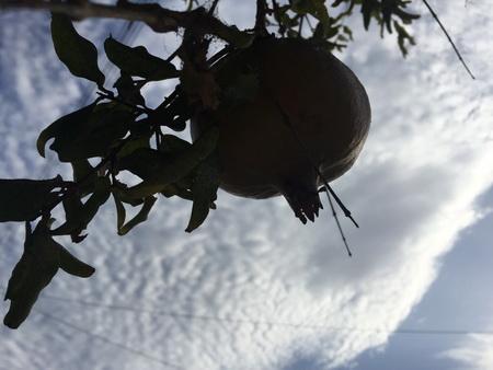 Granatäpfelbaum