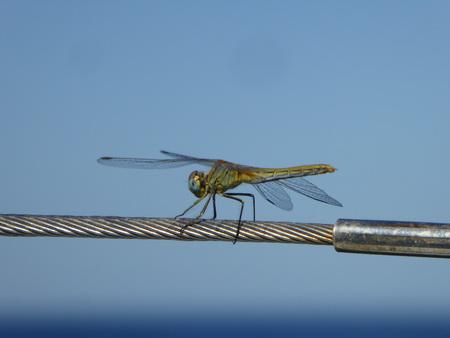 Libelle als blinder Passagier