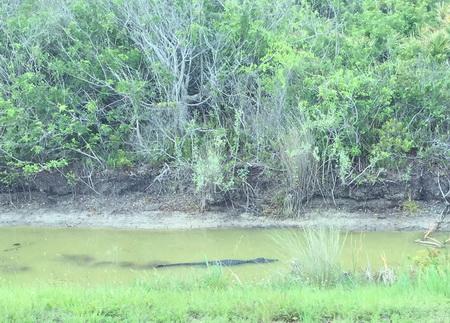 ^Wildnis mit Aligator