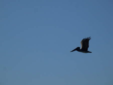 ... Pelikane in der Luft
