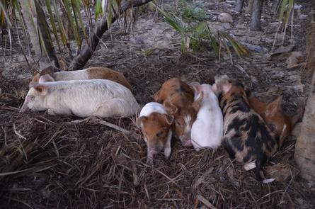 schwimmende schweine in der karibik
