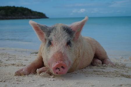 Bahamas-Schweinchen