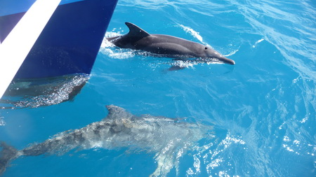 Delphine auf dem Weg nach Jost van Dyke-1110750