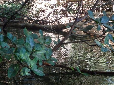 Mangroven-3