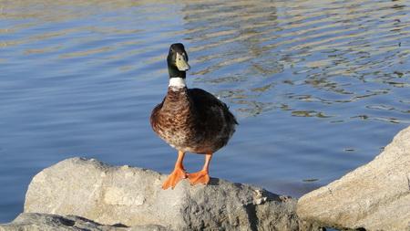 Salzwasser-Ente in Naousa