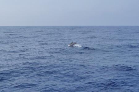 springende Delphine